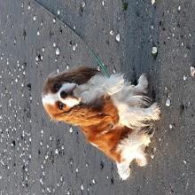 Photo de Milady, chien Cavalier King Charles Spaniel