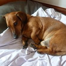 Photo de Pépère, chien Basset fauve de Bretagne