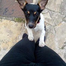 Photo de Stella, chien Jack Russell Terrier