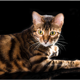 Chat Toyger