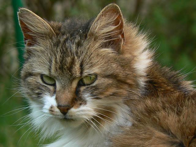 angora chatrooms Association ti chat 29 chats abandonnés  c'est un chat angora noir de 3 ans  qui supportera parfaitement la vie en appartement  de part son petit côté.