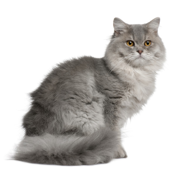 Long Hairl Cat Gray And White