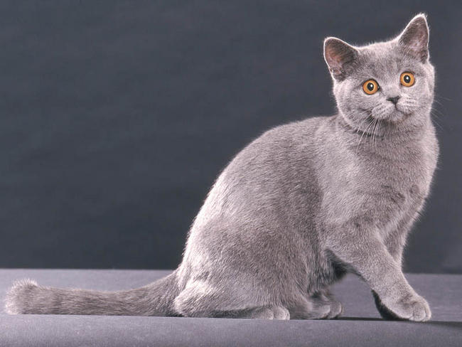 Chat British Shorthair Chat Et Chaton Wamiz