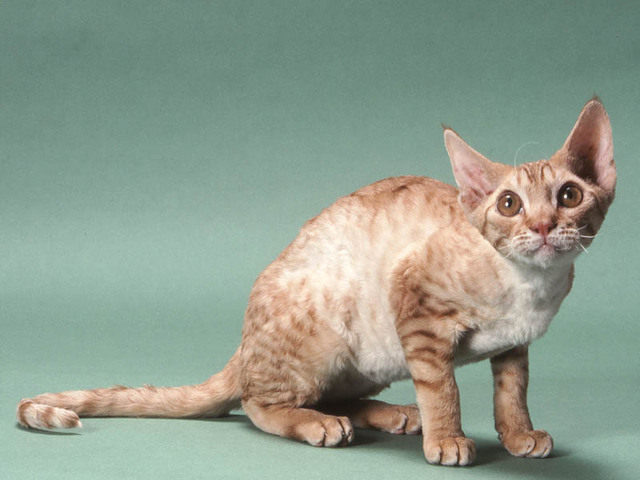 Photos Chat Devon Rex Photo Devon Rex 2882 Wamiz