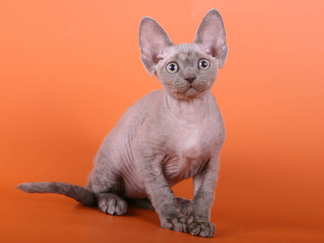 Photos Chat Devon Rex Photo Devon Rex 2883 Wamiz