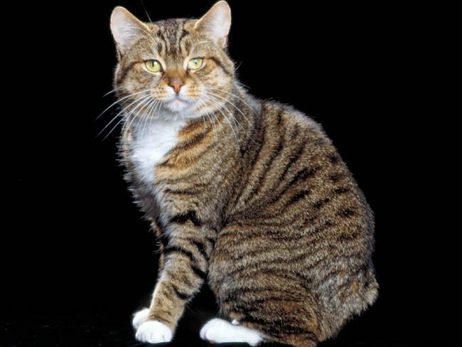 chat manx chat et chaton chat de l le de man   wamiz