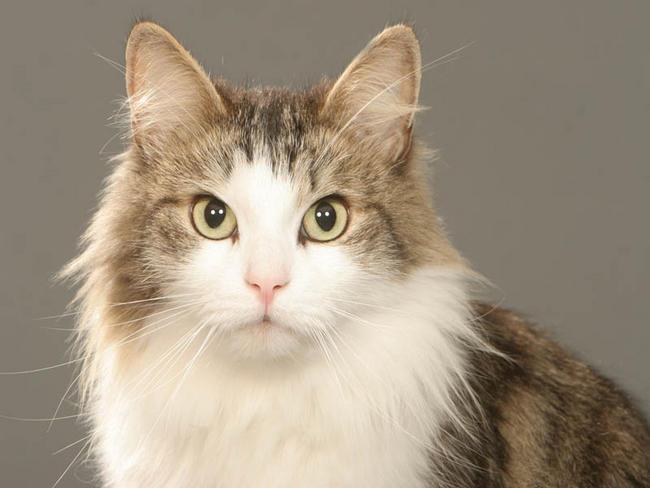Chat sib rien chat et chaton chat de sib rie wamiz - Prix chat munchkin ...
