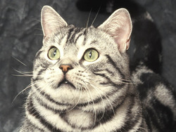 Photo de American Shorthair