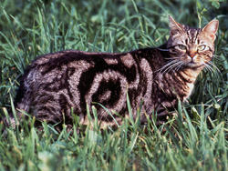 Chat de race American Shorthair