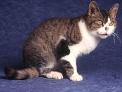 Chat de race American Wirehair