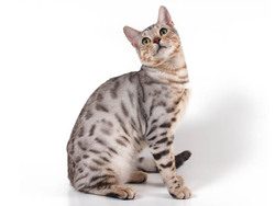 Chat bengal chat et chaton bengali wamiz - Chat du bengal gratuit ...
