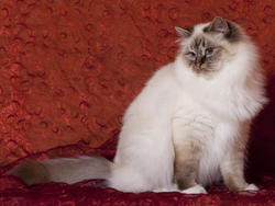 Chat de race Birman