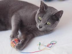noir russe chatte