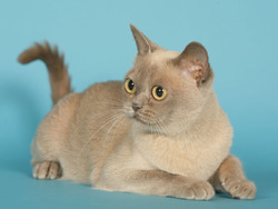 Chat burmese chat et chaton malayen wamiz - Prix chat munchkin ...