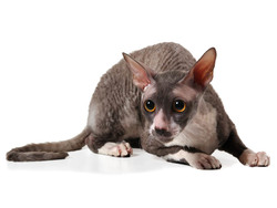 Photo de Cornish Rex