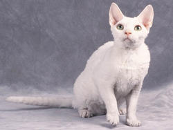 Chat de race Devon Rex