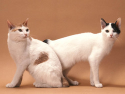 Photo de Japanese Bobtail