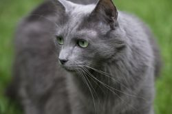 Photo de Nebelung