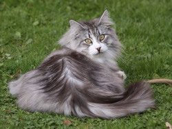 image de chat norvegien