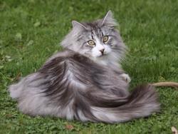 Chat norv gien chat et chaton chat des bois norv gien - Prix chat munchkin ...