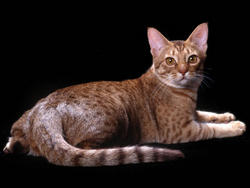 Chat de race Ocicat