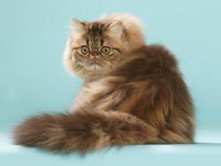 Bebe persan – chaton chien à donner