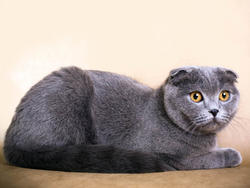 Chat de race Scottish Fold