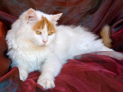 Photo de Turkish Van
