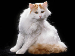Chat de race Turkish Van