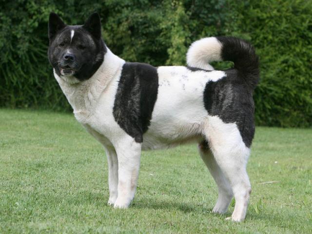 Grand chien japonais