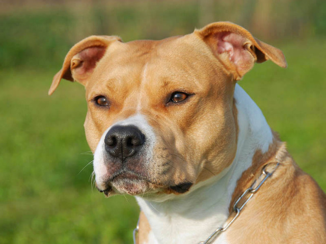Photo chien american staffordshire terrier 657 wamiz for Caracteristique anglais