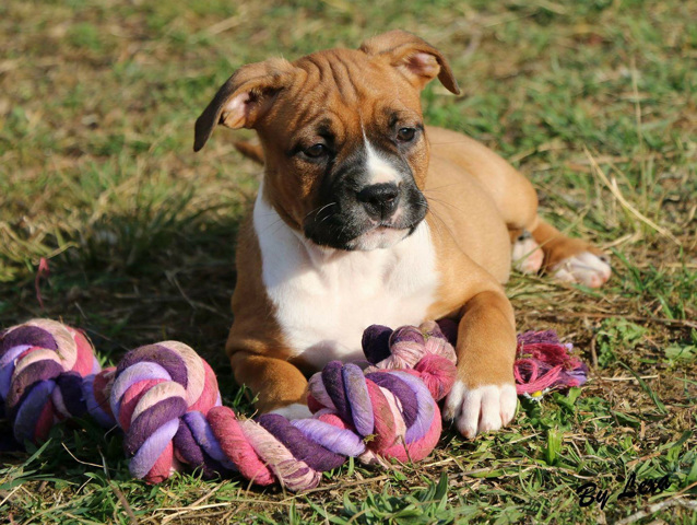 American staffordshire terrier chien et chiot pit bull for Caracteristique anglais