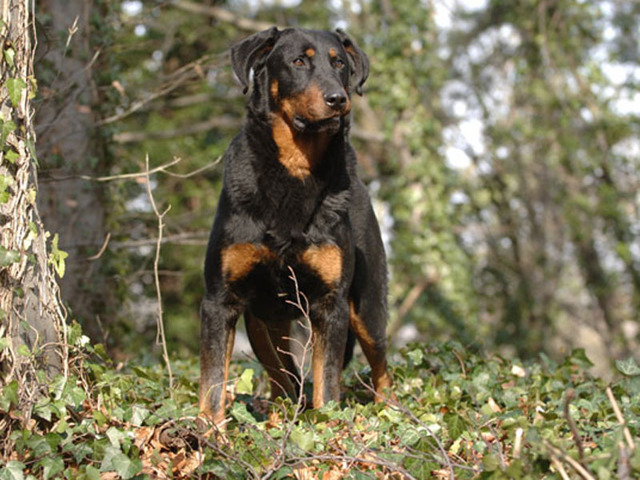 Beauceron : chien et chiot. Beauce Shepherd, Berger de