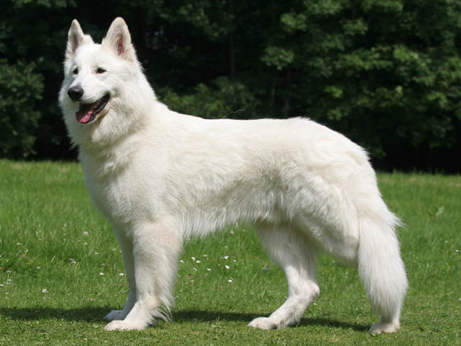 Beliebt Berger blanc suisse : chien et chiot White Swiss Shepherd Dog  QP99