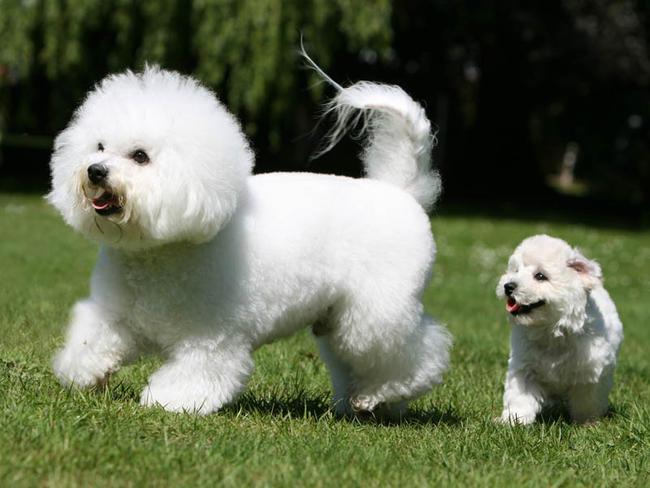 Bichon à poil frisé : chien et chiot. Gelockter Bichon, Bichon ...