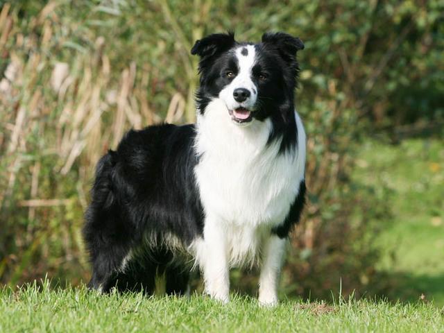 photo d un chien de race border collie crédits photo callalloo canis ...