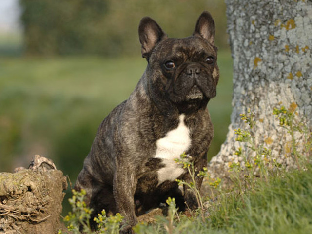 Photo chien Bouledogue français - 848 - Wamiz
