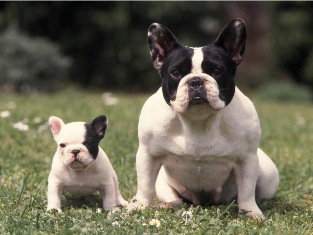 Photo chien bouledogue fran ais 849 wamiz for Caracteristique anglais