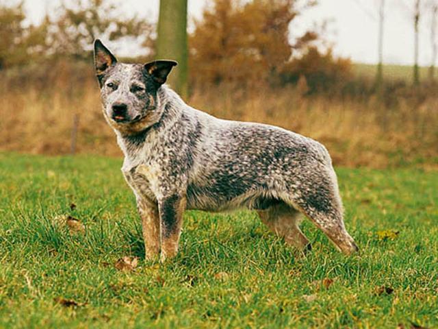 Photo chien Bouvier d'Australie - 861 - Wamiz