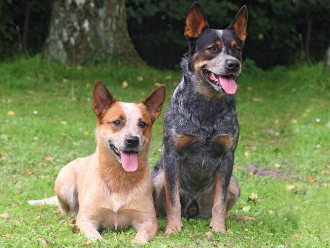 Photos Bouvier d'Australie, chiens de race Bouvier d