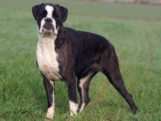 Photo chien Boxer - 877 - Wamiz