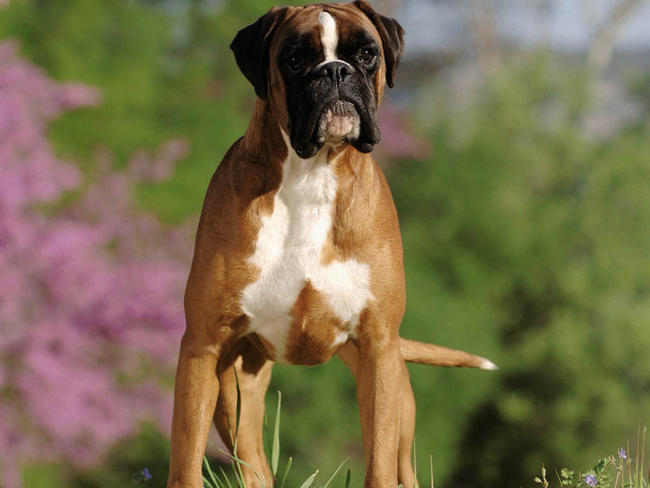 Extrêmement Boxer : chien et chiot - Wamiz FC72