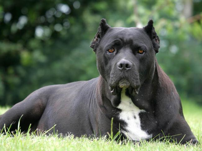 image de chien cane corso