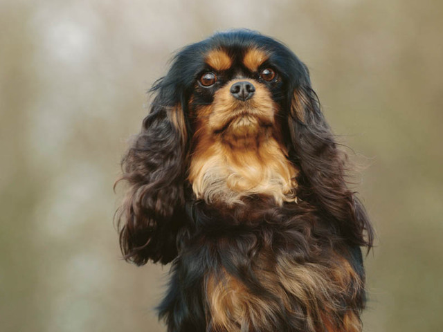 Cute Dog Pictures King Charles Spaniel