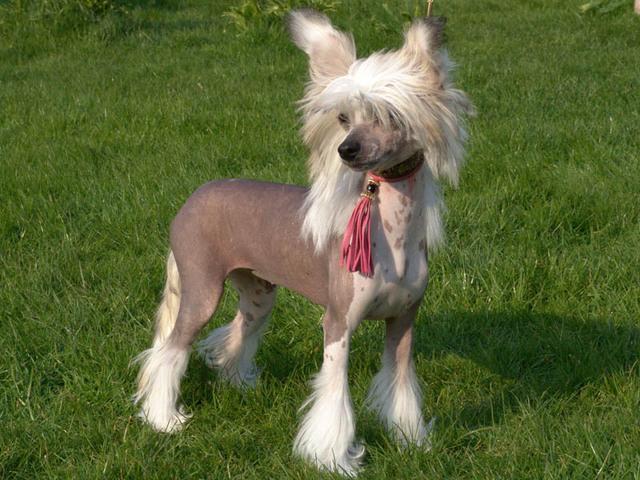 Photo chien Chien chinois à crête - 992 - Wamiz