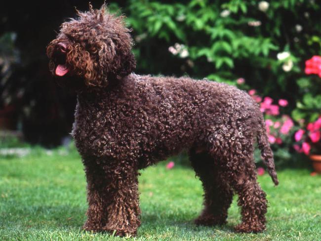 Photo chien Chien d'eau romagnol - 4996 - Wamiz