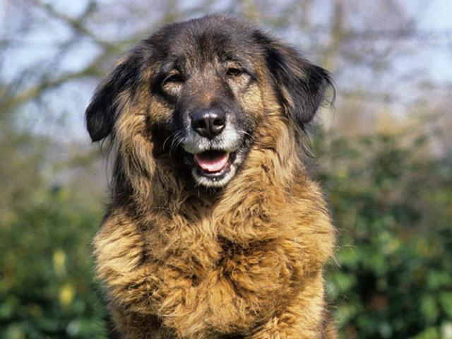 Photo chien Chien de montagne portugais - 1081 - Wamiz
