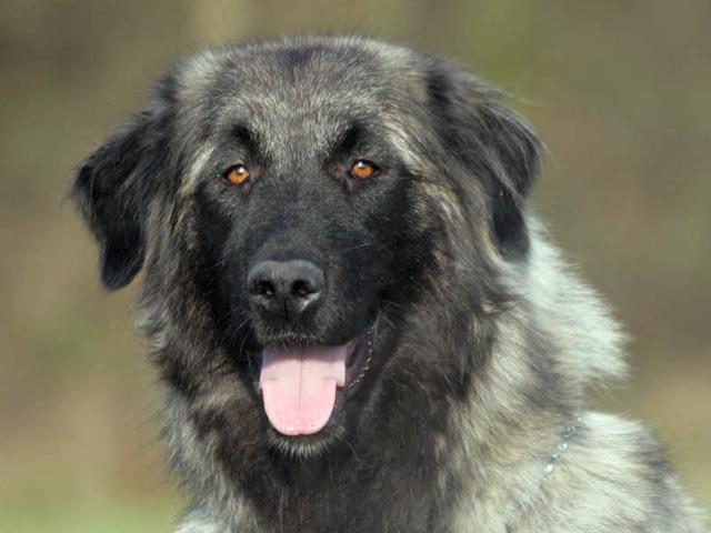 Photo d'un chien de race chien de montagne portugais
