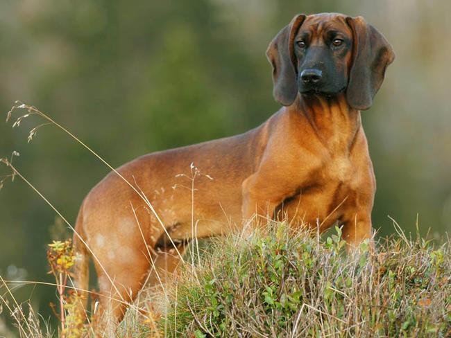 Chien rouge de Bavière : chien et chiot - Wamiz