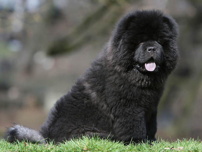 Toy Chow Chow Dog